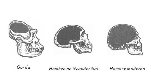 Resultado de imagen de La evolución del cerebro humano